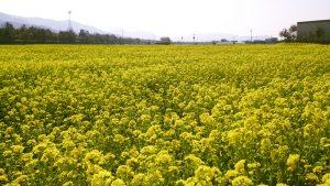お花畑で春を感じよう!「見奈良菜の花まつり」