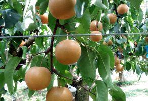 秋の入り口、梨狩り始まってますよ!
